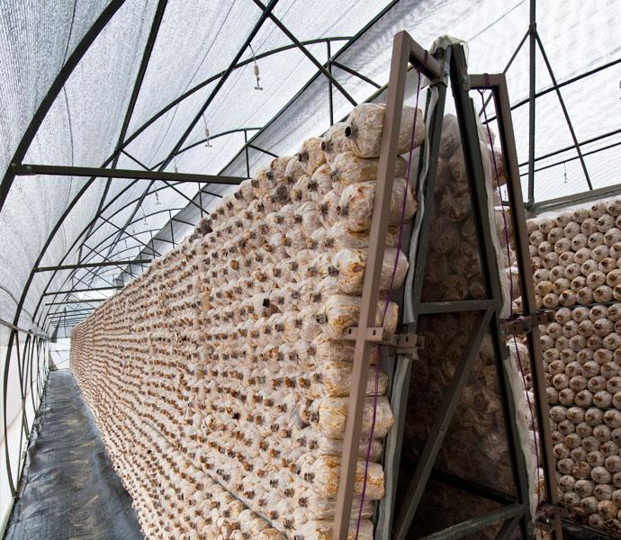 Hệ thống phun sương trồng nấm tự động